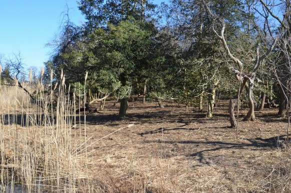 H:\Wetlands Institute\Wetlands Institute\Stone Harbor\Bird Sanctuary Restoration Project\SHBS_photos\2014-02__438.JPG