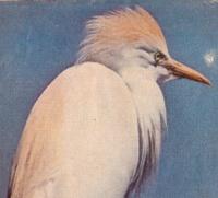 birdtuft